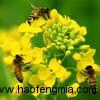 地球上85%的植物依靠蜜蜂授粉