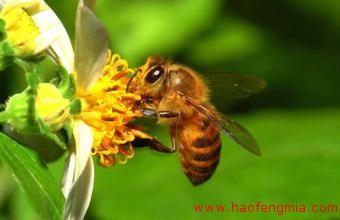 世界上有多少种蜜蜂?蜜蜂种类介绍