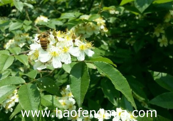江西养蜂业之江西蜜源植物介绍