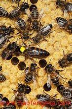 为什么要定期换种?怎样使用蜜蜂杂交种?