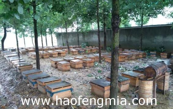 陕西养蜂业之陕西蜂种资源介绍