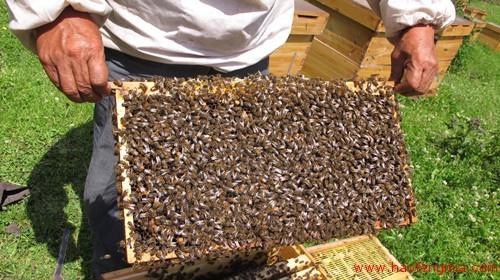 新疆伊犁首次发现新蜂种:中国黑蜂