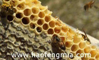 蜂蜜是不是蜜蜂的口水