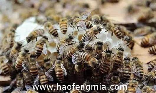 如何诱捕中华蜜蜂?