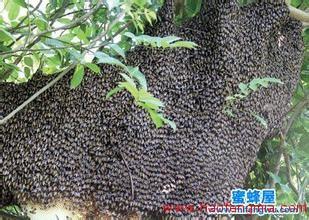 蜜蜂分蜂有前兆吗