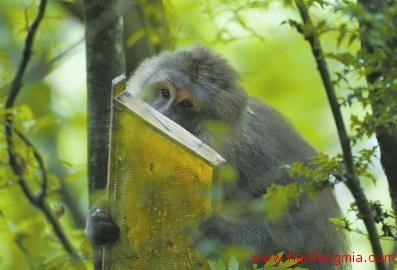 蜂蜜创业:岷山养蜂二十年 白天防猴  晚上防熊