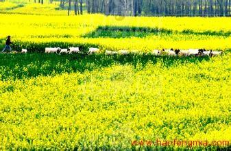 我国油菜蜜蜜源植物生产现状及其对养蜂业的影响分析