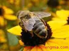 什么是蜂王人工授精?蜂王人工授精介绍?