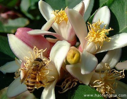 东方蜜蜂和西方蜜蜂舞蹈语言相通