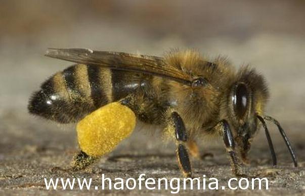 意大利蜜蜂