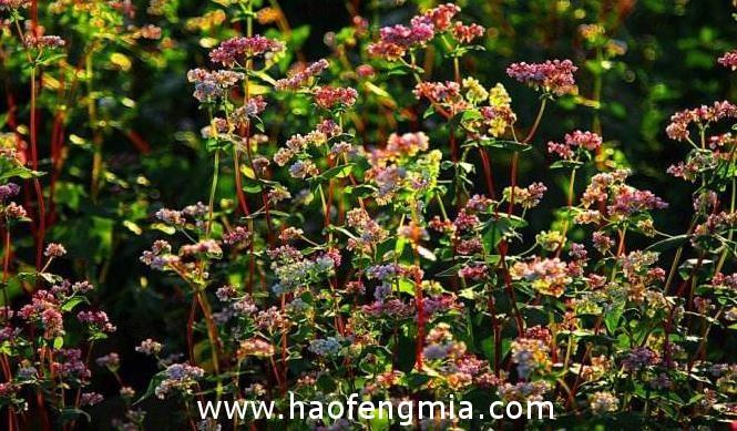 我国主要蜜源植物荞麦分布及开花期常识知识