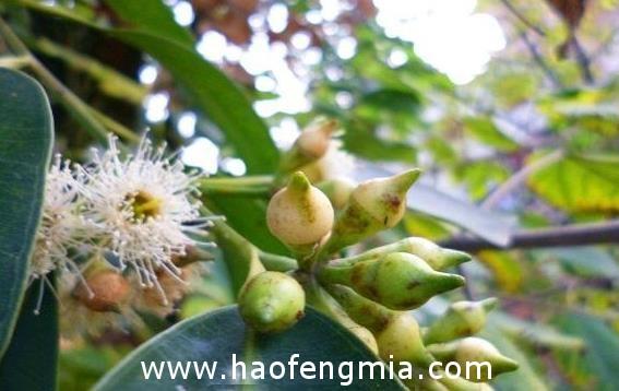 桉树蜜的功效和作用