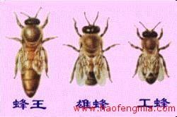 蜜蜂育种上的母群和父群分别指什么?