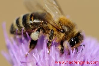蜂蜜品种之意大利蜜蜂  意蜂产蜜能力强
