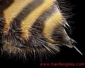 蜂毒是怎么获取的