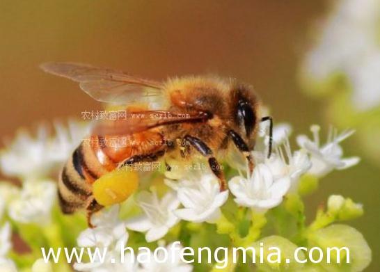 欧洲蜜蜂主要品种之意大利蜜蜂