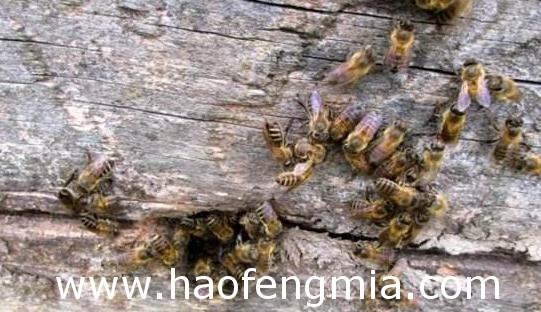 中蜂流蜜期怎么管理?