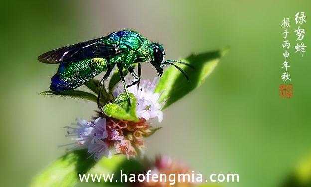 亚洲蜜蜂种类:绿努蜂介绍