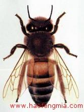 西方蜜蜂品种介绍