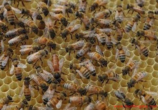 蜜蜂蜂群诱王与换王