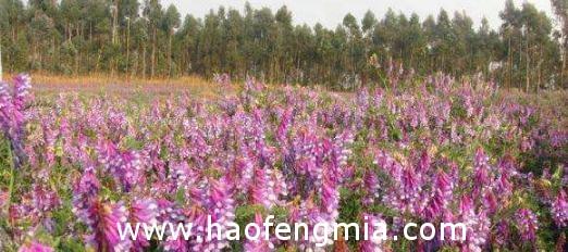 贵州省食药监局蜂产品监督抽检:苕子花蜂蜜菌落总数超标