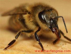 非洲化蜜蜂介绍