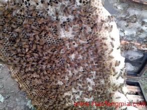 蜜蜂创业:养蜂不取蜜 卖蜜蜂挣钱
