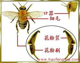蜜蜂基因组测序:蜜蜂祖籍起源非洲