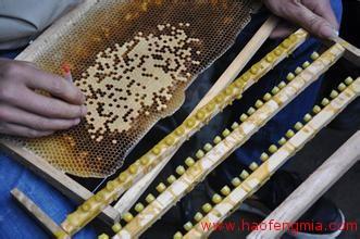 蜜蜂人工育王技术的八大要素介绍