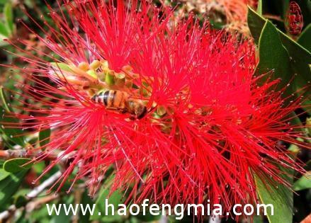 红花蜜的作用与功效介绍