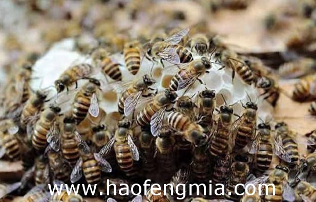 蜜蜂春繁旺花季产蜜多