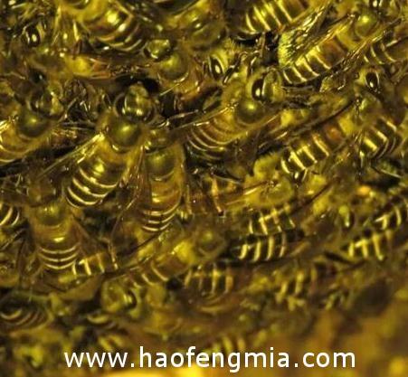 印度采蜜人采蜜方法独特,靠向蜂巢吹气引开蜜蜂