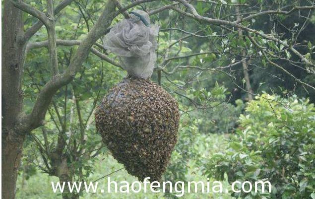 飞逃中蜂群要怎么安置?
