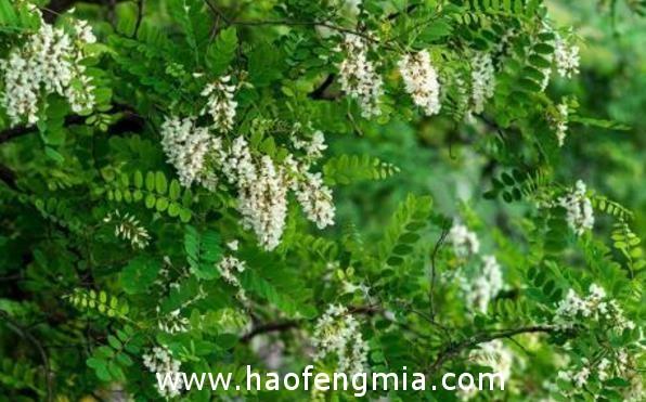 中国四大蜜源植物之槐花蜜源