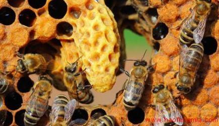 蜜蜂蜂群无王怎么办