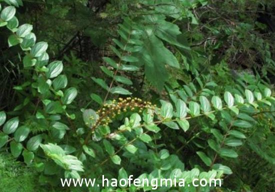 有毒蜜源植物——马桑