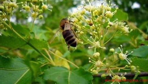 俄罗斯椴树蜜
