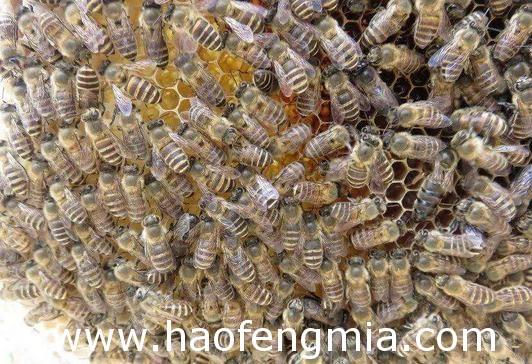 蜜蜂为什么围王?蜜蜂围王原因介绍