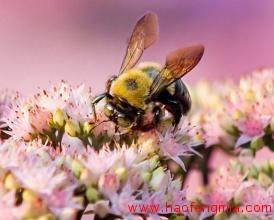 蜜蜂甘露蜜中毒的原因以及症状