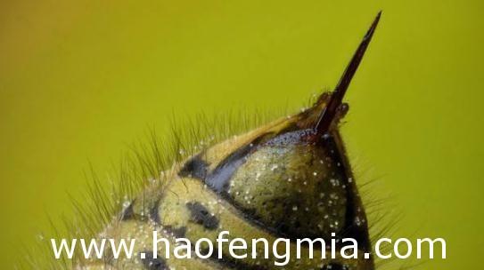 蜂毒的作用有哪些?