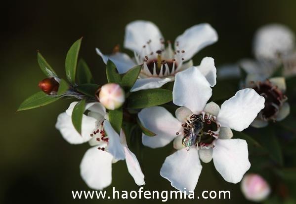 新西兰科学家找到鉴定麦卢卡蜂蜜真伪的新方法