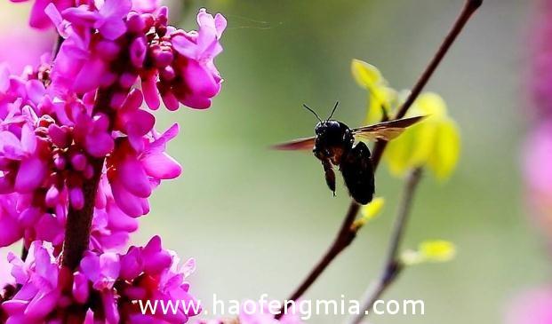 亚洲蜜蜂种类介绍