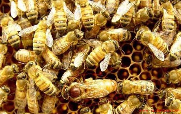 蜜蜂围王是什么原因?蜜蜂围王如何解决