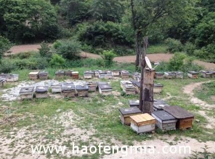 黑龙江八五二农场工会帮助养蜂户:林下放养蜜蜂