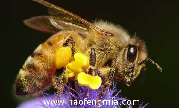 亚洲蜜蜂种类:沙巴蜂介绍