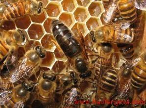 中蜂人工育王方法