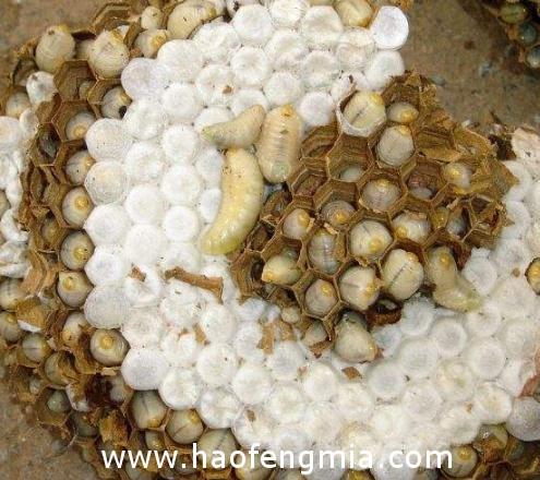 蜂蛹怎么存放好?蜂蛹的保存方法