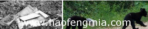 江西贵溪:黑熊入村偷吃蜂蜜