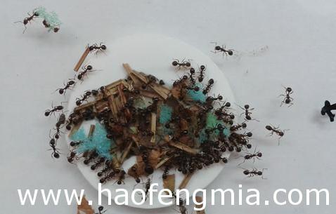 蜂蜜奇闻:蚂蚁利用工具收集蜂蜜