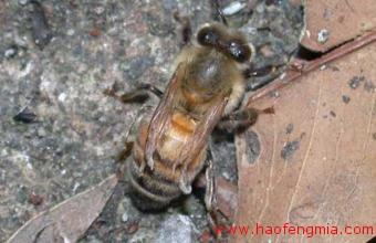 蜜蜂蜂螨防治方法介绍